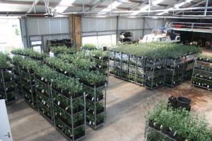Planten klaar voor levering